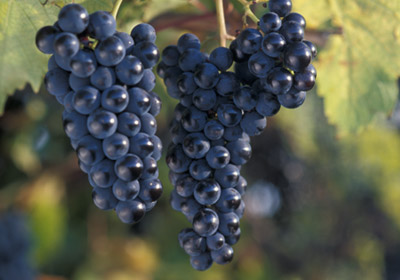 """U Of M Touts Econ. Impact Of  """"Cold-Hardy"""" Wine Grapes"""