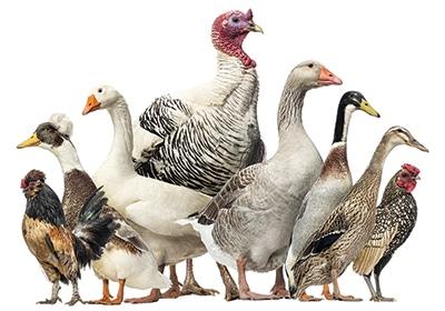 A Fair With No Fowl