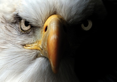 Close up of a Bald Eagle face