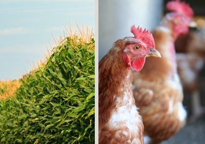 Local Poultry Producers Pinched by Rising Feed Costs