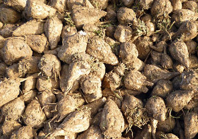 Sugar Beet GMO Concerns Could Affect Minnesota Producers