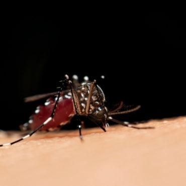 U of M's Gene-Editing Method to Fight Mosquito-Borne Diseases Gets NSF Funding