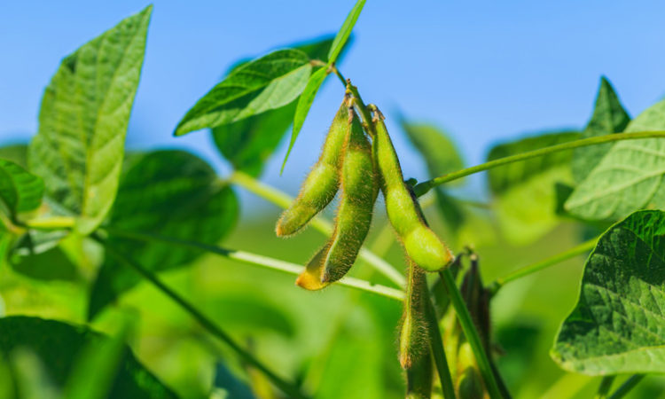 Low Soybean Prices, While Bad for MN Farmers, May Not Be Bad for the State's Economy Overall